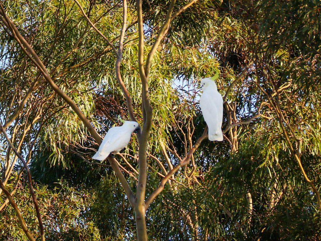 Cockatoos in Sydney, Australia