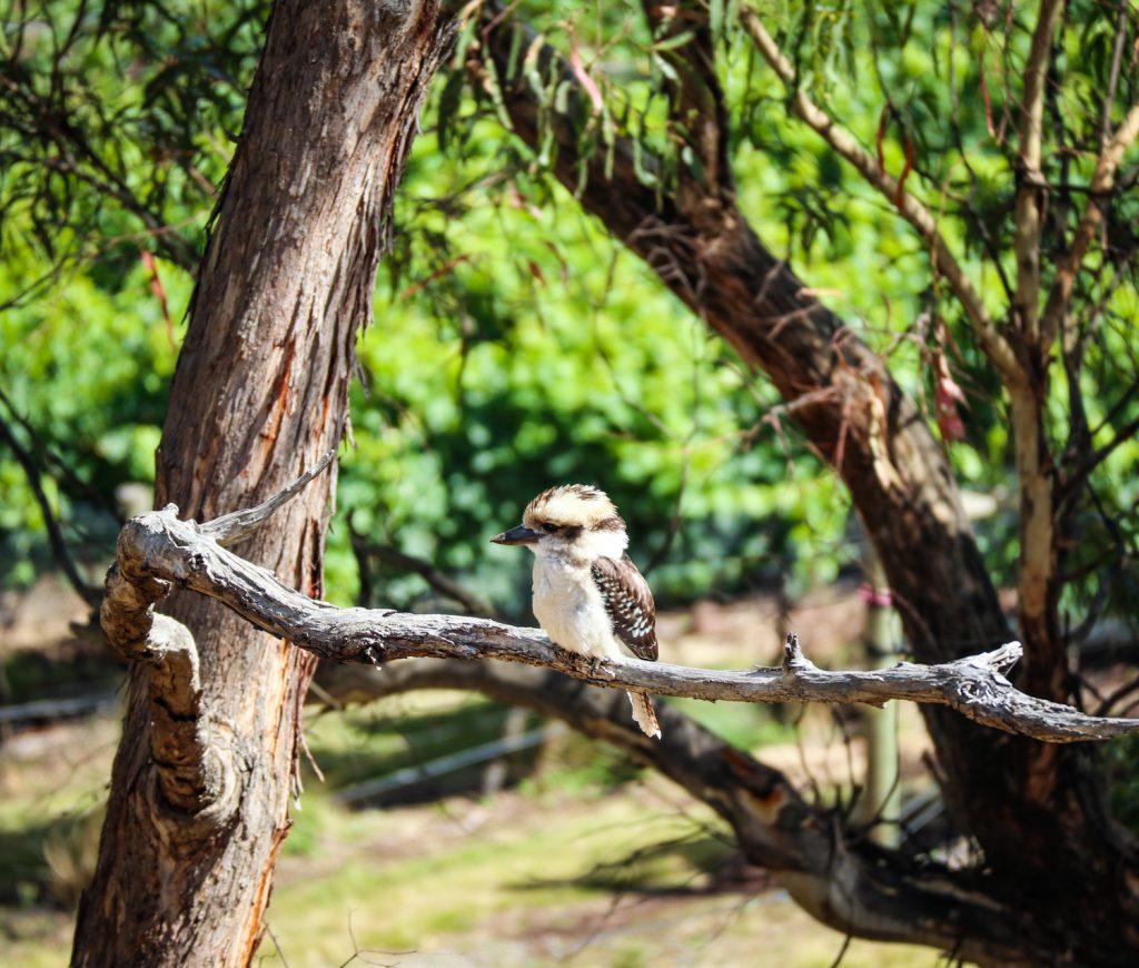A baby Kookaburra in Tasmania, Australia