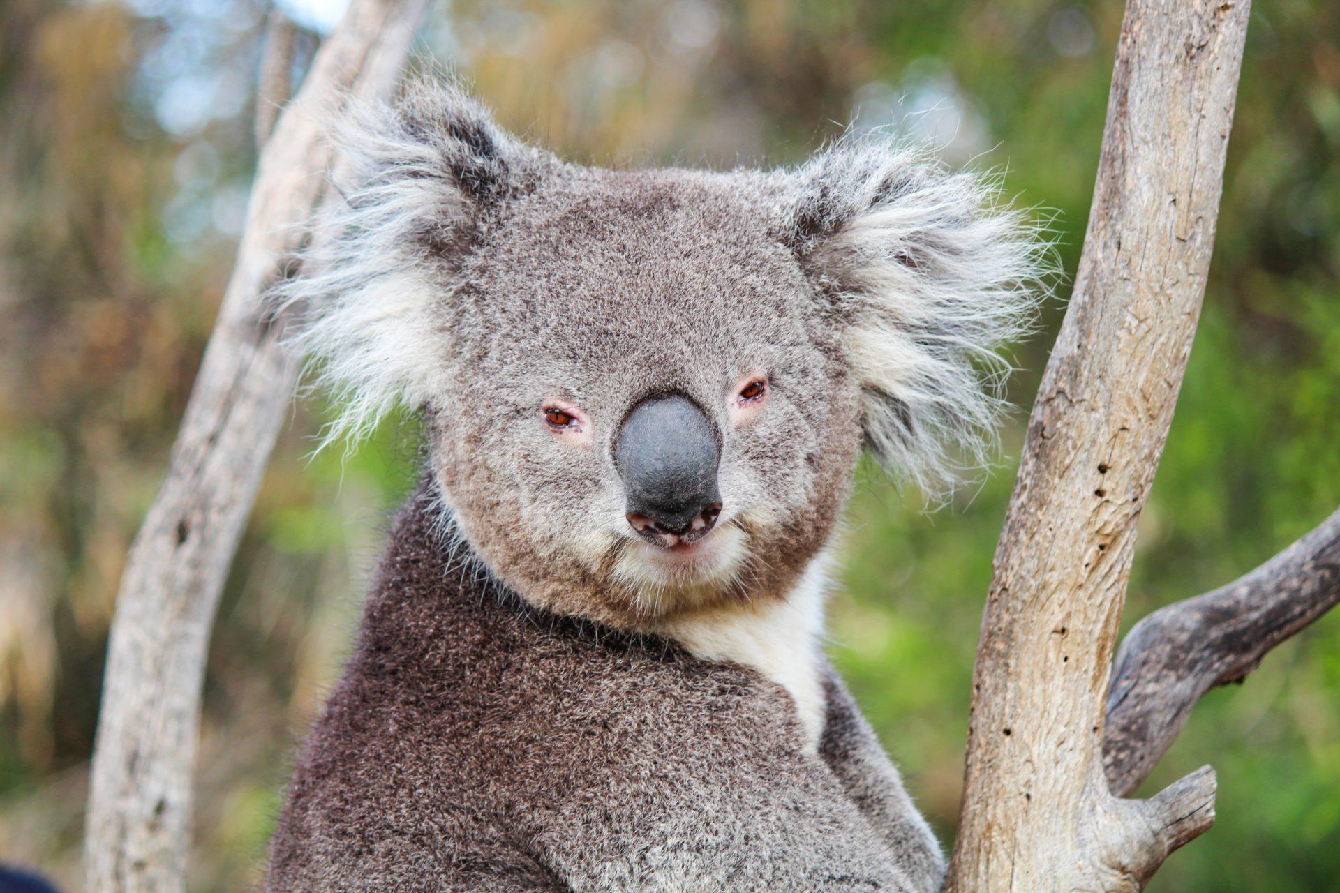Koala at Bonorong Wildlife Sanctuary, Tasmania