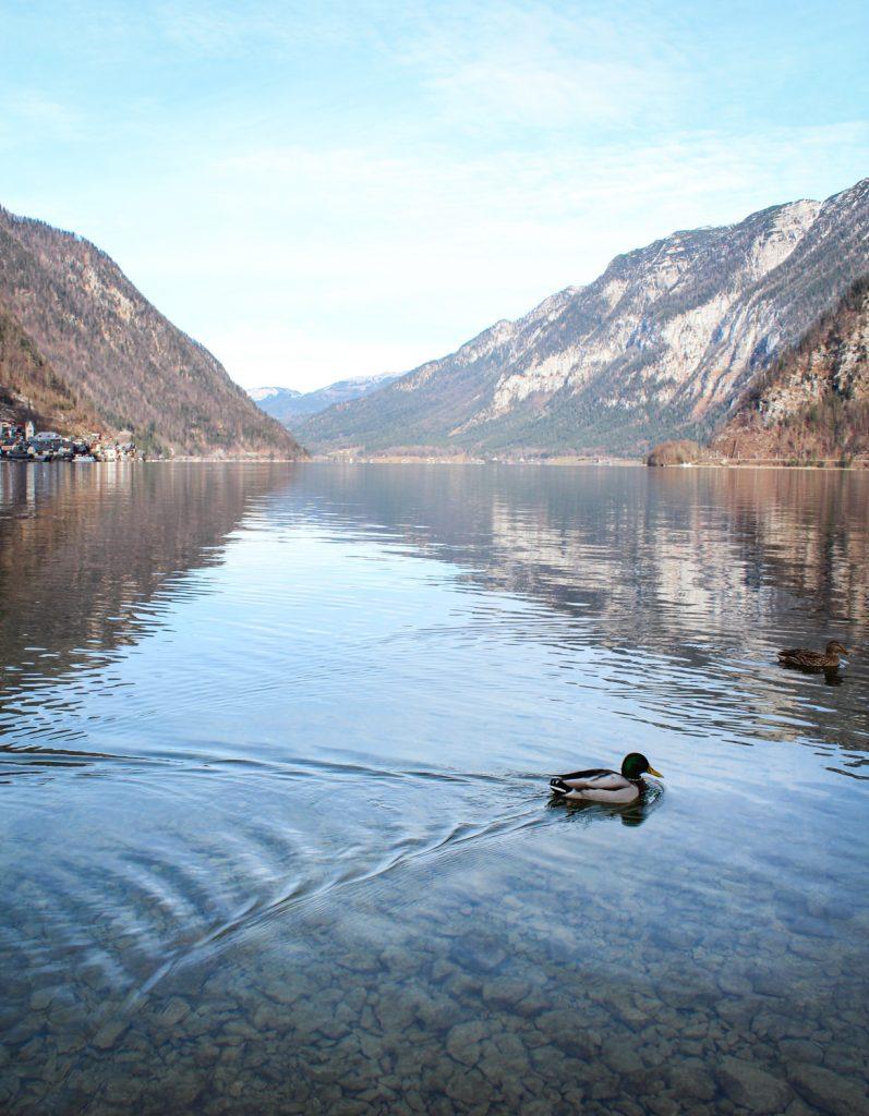 Ducks on Hallstatt Lake seen from small island