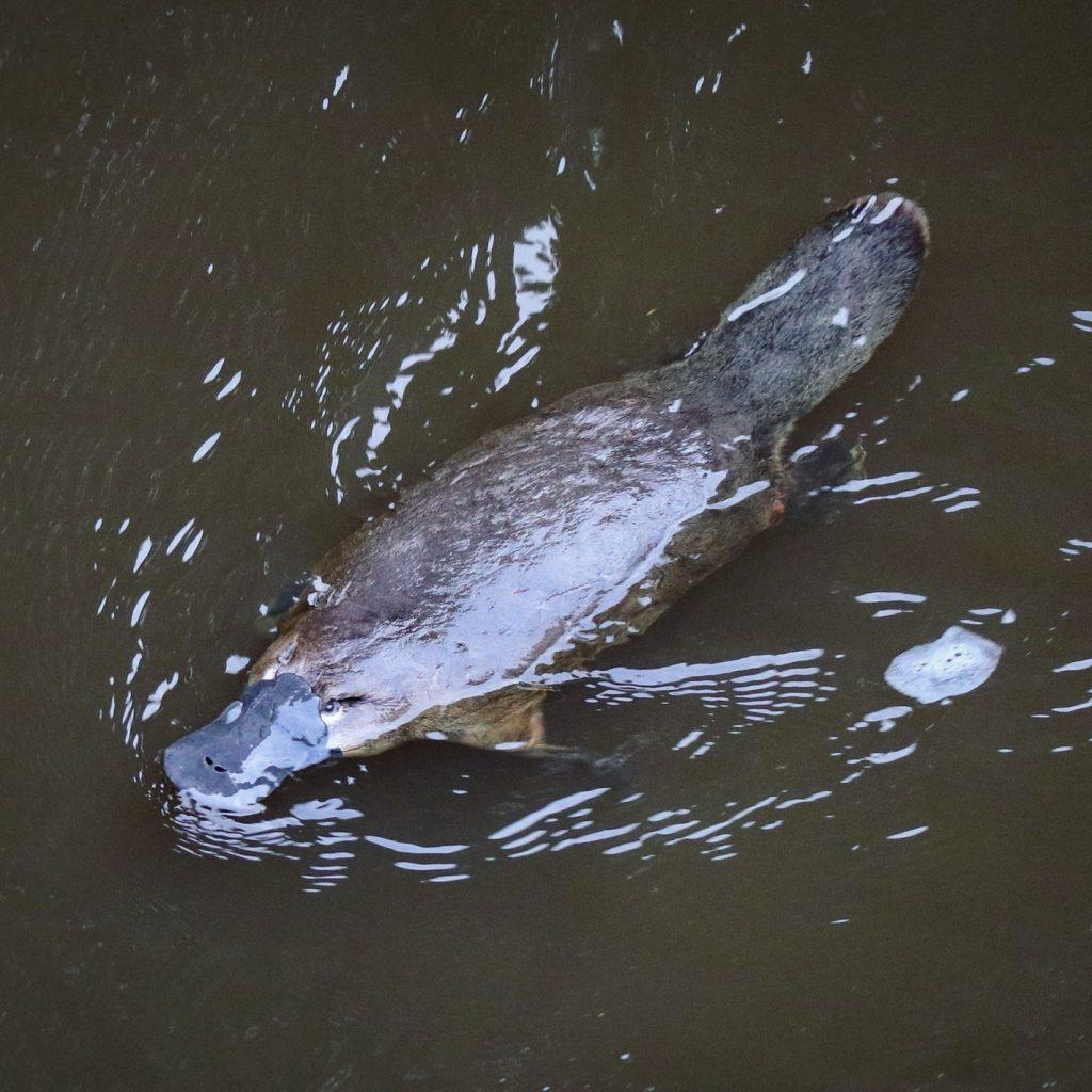 A platypus in the river at Geeveston, Tasmania